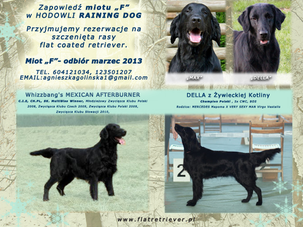 miot F rasy flat coated retriever